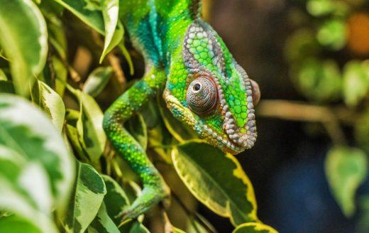 párduckaméleon chameleon