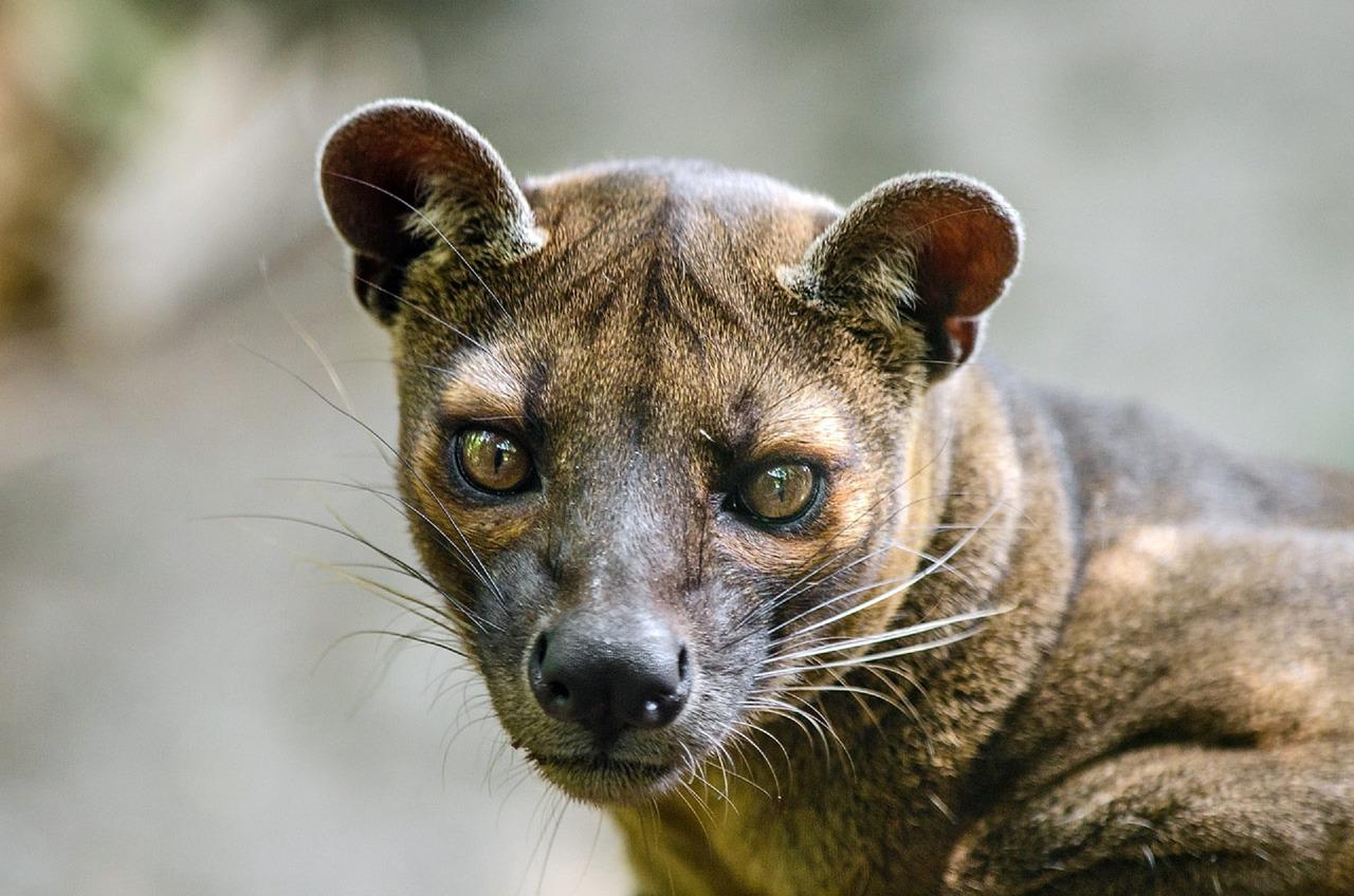 fossa-malagasy-madagascar-predator