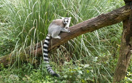 Lemur Natura Travel