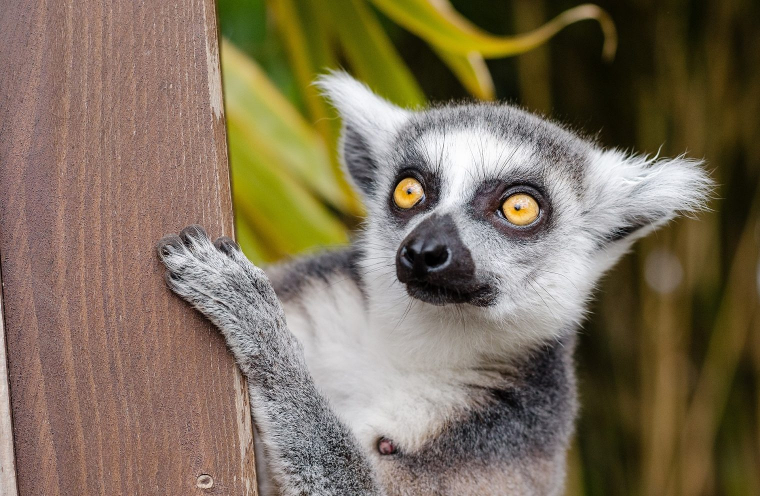 lemur-ring-tailed-lemur-primate