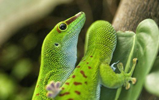 Lizard madagascar