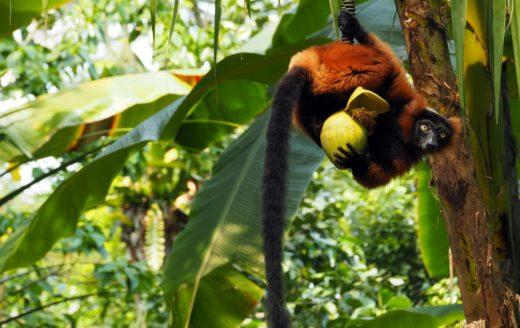 Monkey Madagascar